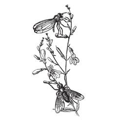 a species of helomyza vintage vector image