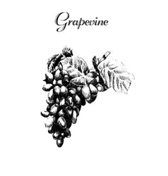 ink hand drawn vintage grapevine vintage fruit vector image