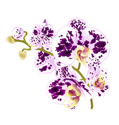 Branch orchids spotted purple and white flowers vector