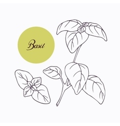 Hand drawn basil branch with leves isolated on vector image