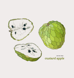 Sugar-apple hand drawn set vector