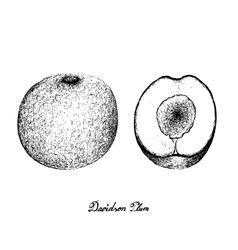 Hand drawn of davidson plums on white background vector