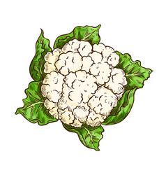 cauliflower cabbage vegetable isolated sketch vector image