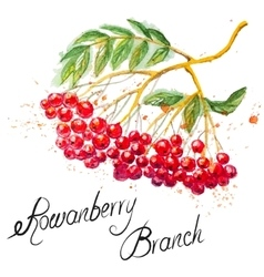 Rowanberry branch vector