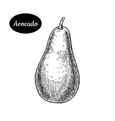 Hand drawn sketch style fresh avocado vector
