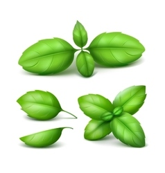 Set of Green Basil Leaves Close up Background vector image