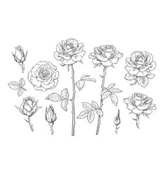 big set rose flowers buds leaves and stems in vector image