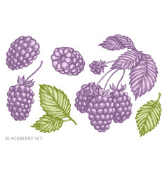 Set hand drawn pastel blackberry vector