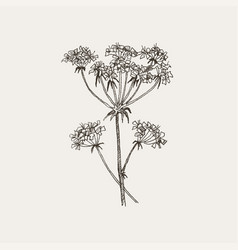 herbal plant hand drawn botanical vector image