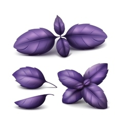 Set of Red Purple Basil Leaves Isolated Background vector