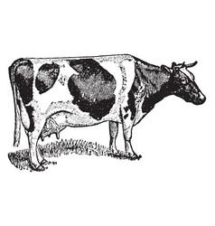 Holstein cow vintage vector