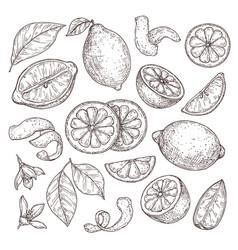 lemon sketch hand drawn oranges lime pencil vector image