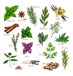 Culinary herb and spice sketch for food design vector