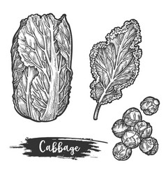 napa cabbage or sketch chinese cauliflower vector image