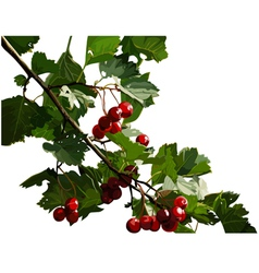 red viburnum berries on a branch vector image