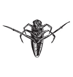 Notonecta glauca vintage vector
