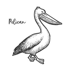 pelican etching sketch of vector image