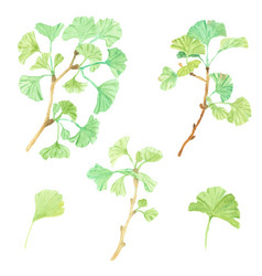 Watercolor green ginkgo leaf branch collection vector