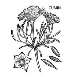 Graphic cumin set vector
