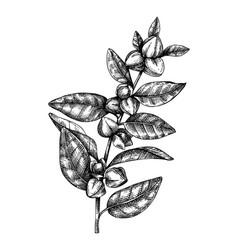 Ashwagandha adaptogenic plant medical herbs vector