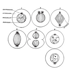 Process of cell division vintage vector