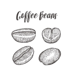 Coffee bean seed natural organic caffeine fruit vector