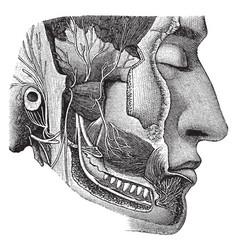 Cranial nerves vintage vector