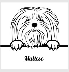 maltese - peeking dogs - - breed face head vector image