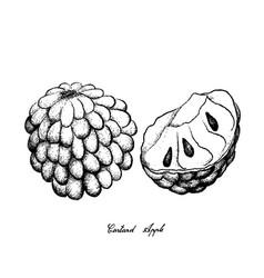 Hand drawn of ripe custard apple on white backgrou vector