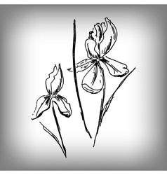 iris flower by hand vector image