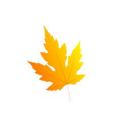 maple autumn leaf isolated on white background vector image