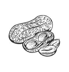 peanut sketch engraving vector image