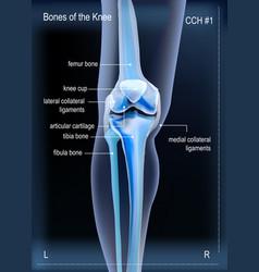 X ray bones knee vector