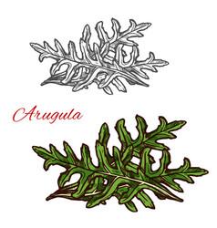Arugula plant sketch of green leaf salad vegetable vector