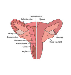 Diagram of female human reproductive system vector