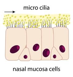 Nasal mucosa vector