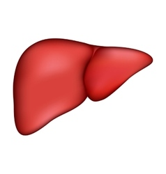 Realistic human liver medical vector image