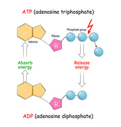 Atp and adp absorb and release energy into cell vector
