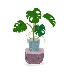 a potted monstera plant isolated on white a green vector image