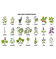 Best medicinal herbs for migraines relief vector