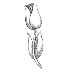 Hand drawn tulip cute doodling flower sketch vector image