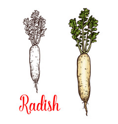 Radish vegetable tuber sketch vector