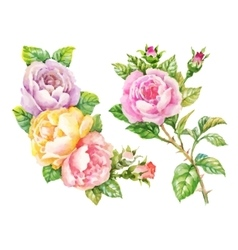 Watercolor garden blooming red roses vector