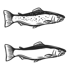 trout fish on white background vector image