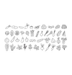 Bundle of vegetables cultivated root crops vector