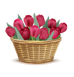 full wicker basket with red tulips vector image