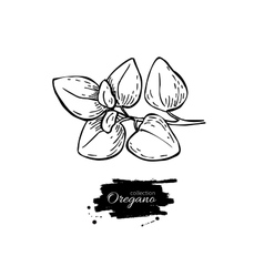 Oregano drawing Isolated Oregano plant vector image vector image