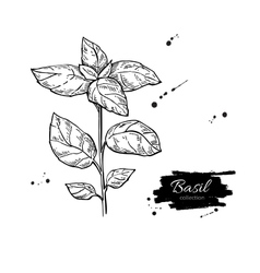 Basil drawing isolated basil plant vector