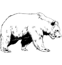 Big brown grizzly bear drawn in ink by hand vector