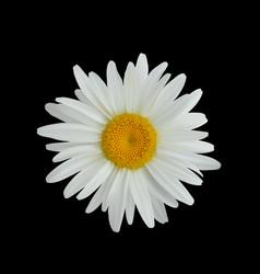 Realistic daisy flower isolated on dark background vector